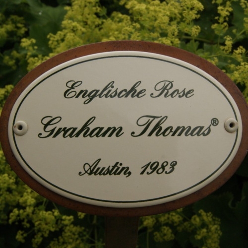 "Rosenschild ""Graham Thomas"""